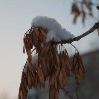 вот январь уж на дворе, а снег только только выпал :: Альбина Еликова