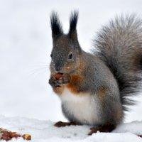 Белочка Пятнышко ! ну уж очень она любит орешки.. :: Anatoley Lunov