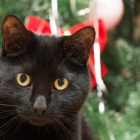 Новогодняя кошка :: Иван Кибирев
