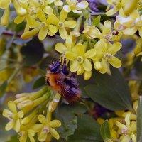 Пчёлка :: Наталья Красникова