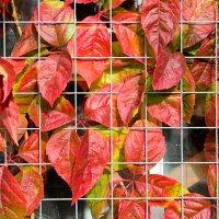 Листья винограда :: Сергей Горбенко