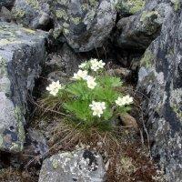 Цветы и камни :: Сергей Комков