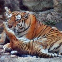 Тигрица с тремя тигрятами :: Марина Витушкина