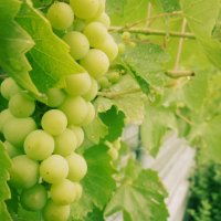 Виноград :: Sushka _ua