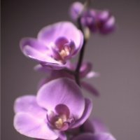 орхидея :: Sergey Emelyanov