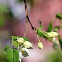 Яблоня весной :: Светлана SvetNika17
