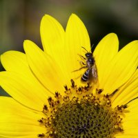 цветок солнца :: Светлана Скирта