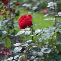 Роза :: Александр Люликов