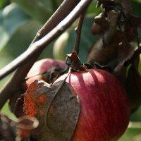 Олечкины яблочки :: Irina BlueSable