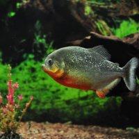 рыбка золотая :: Августа