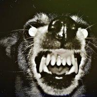 Маленькая (злая) комнатная собака :: Сергей Черник