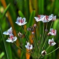 Озерные цветы :: Agnivarshi Малтыз