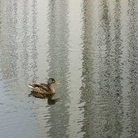 Городской селезень на фоне вертикальной воды :: Алексей Окунеев