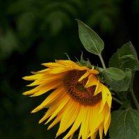 солнечный цветок :: gribushko грибушко Николай