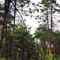 Прогуливаясь солнечными дорожками соснового бора :: Надежда Кульбацкая