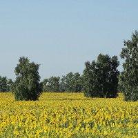 подСолнечное поле #5 :: Виктор Четошников