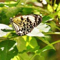не знаю, что за бабочка... :: Андрей Печерский