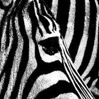 zebra :: Slava Hamamoto