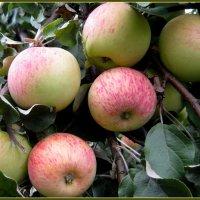 Яблоки поспели :: irina
