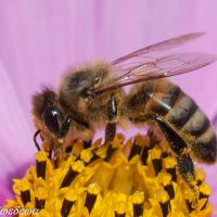 Пчелка :: Светлана Медведева