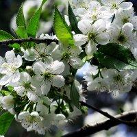 Белой яблони цвет :: Наталья