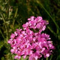 дарю вам цветочек :: Светлана Козлова