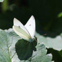 И снова бабочка :: надежда