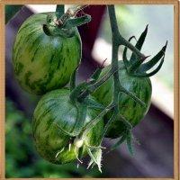 Скрестили как то мы арбуз с томатом, да под такую закусь взяли водки маловато... :: muh5257