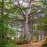 Сосновый лес :: Олег Товкач