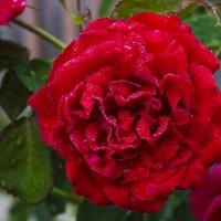 Утренняя роса на розе :: Александр Синчуков