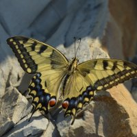 Papilio machon... :: Николай Воробьёв