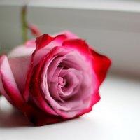 Роза :: AllaSaa