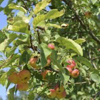 райские яблочки :: Мария Климова