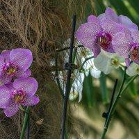 Орхидеи :: Эдуард Пиолий