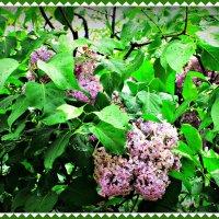 Прощание с весной :: Самохвалова Зинаида