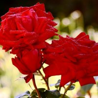 утренние розы :: Александр Морозов