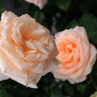 Две розы под окном раскрылись... :: Галина Стрельченя