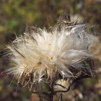 Осенний переполох ...ой... чертополох :: leoligra
