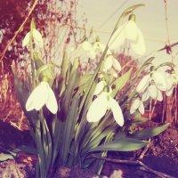 Snowdrops :: Ntalia Grey