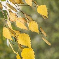 листья желтые.... :: Лариса Батурова