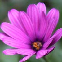 Анемона-прекрасный садовый цветок :: Людмила