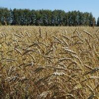 Хлебное поле #4 :: Виктор Четошников