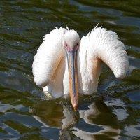 Pelicans :: Татьяна Кретова