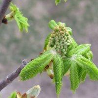 Каштан , ранняя весна :: Жанет Кононова