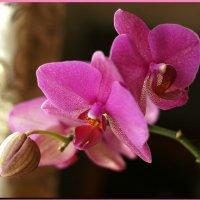 Орхидея. :: Любовь Чунарёва