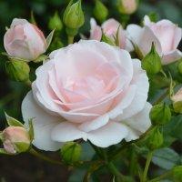 розы :: Константин Трапезников