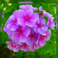 Алтайские цветы по фото Людмилы Лой 3 :: Владимир Хатмулин