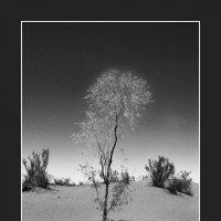 Пустынный одуванчик :: Ахмед Овезмухаммедов