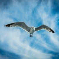 Чайка :: Oleg Hardy