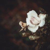 Из серии - мои розы!!! :: Александр Вивчарик